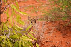 Impala Calve in Africa Safari. A small animal Stock Photo