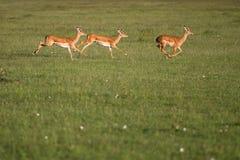 Impala che funziona nel Masai Mara Immagine Stock Libera da Diritti