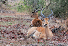 Impala chewing food. Impala laying between autumn leaves on ground chewing food Royalty Free Stock Images
