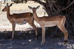 Impala - Chobe N.P. Botswana, Africa Stock Images