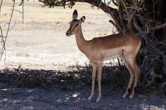 Impala - Chobe N P Botswana, Afryka Obrazy Royalty Free