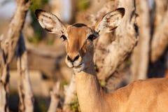 Impala - Chobe N P Botswana, Afryka Obraz Stock