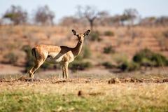 Impala - Chobe N P Botswana, Afryka Fotografia Stock