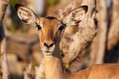 Impala - Chobe N P Il Botswana, Africa fotografia stock libera da diritti