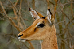 Impala close up Royalty Free Stock Photo