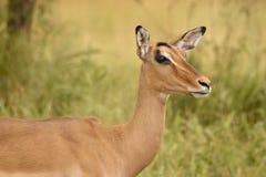 Impala close up Stock Images