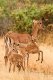 Impala com impalas novos, Samburu, Kenya Imagens de Stock