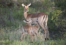 Impala com os jovens gêmeos no parque nacional de Kruger Imagem de Stock Royalty Free