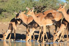 Impala, Common - African Wildlife - Family Time Royalty Free Stock Photography