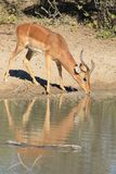 Impala, Common - African Wildlife - Old warrior Stock Photos