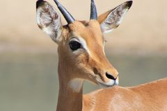 Impala, common - African Wildlife and young Life Stock Photo