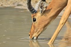 Impala, Common - Wildlife Background from Africa - Quenching Thirst Stock Photo