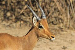Impala, common - Wildlife Background from Africa Royalty Free Stock Image
