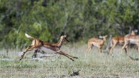 Impala commun en parc national de Kruger, Afrique du Sud image libre de droits