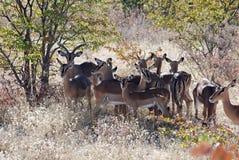 Impala con il cittadino Sosta-Namibia di Etosha di paesaggio Fotografie Stock Libere da Diritti