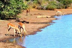 Impala contra cocodrilo Fotos de archivo