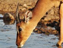 Impala - Crisp water for the thirsty Royalty Free Stock Image