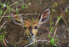 Impala curioso detrás de las ramitas fotografía de archivo