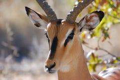 Impala dans Etosha Photos stock