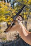 Impala dans Etosha Photo stock