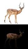 Impala in the dark and impala isolated Stock Photo