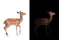 Impala in the dark and impala isolated Royalty Free Stock Photos