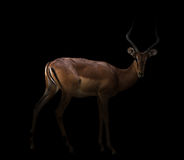 Impala in the dark Royalty Free Stock Images