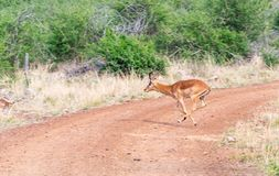 Impala darts across road caught in midair stock photo
