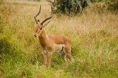 Impala in de Afrikaanse Savanne Stock Fotografie