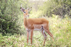 Impala in de Afrikaanse Savanne Royalty-vrije Stock Afbeelding