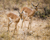 Impala de dos hembras con las cabezas para arriba Imagen de archivo libre de regalías