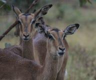 Impala de dos hembras, melampus del Aepyceros, mirando la cámara imagenes de archivo
