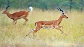 Impala in de wildernis stock foto