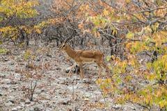 Impala deer walking in autumn bush. In Etosha national park, Namibia Royalty Free Stock Photos