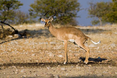 Impala defecating Royalty Free Stock Photo