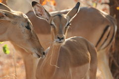 Impala del bambino Fotografia Stock