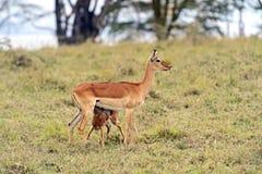 Impala della gazzella Fotografia Stock Libera da Diritti