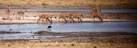 Impala - delta di Okavango, Africa immagini stock