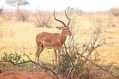 Impala die in de wildernis wordt bevlekt stock afbeeldingen