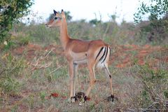 Impala die in de wildernis wordt bevlekt royalty-vrije stock fotografie