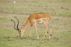 Impala, die in der Savanne kaut lizenzfreies stockfoto