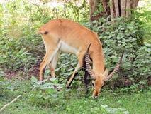 Impala die gras in Sri Lanka eten royalty-vrije stock afbeelding