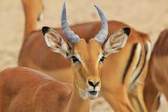 Impala - djurlivbakgrund från Afrika - naturs gyckel Fotografering för Bildbyråer