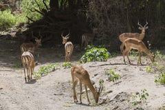 impala do antílope em Tanzânia Fotografia de Stock