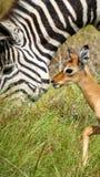 Impala do bebê com a zebra em África Fotografia de Stock Royalty Free