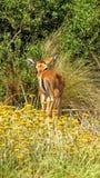 Impala do bebê que olha para trás em África Fotografia de Stock Royalty Free