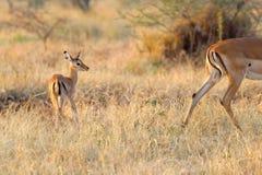 Impala do bebê que segue a mãe Foto de Stock Royalty Free