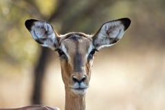Impala doe with back-lighting portrait Stock Image
