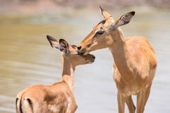 Impala doe caress her new born lamb in dangerous environment Royalty Free Stock Images