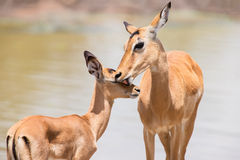 Impala doe caress her new born lamb in dangerous environment Stock Photo